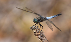 Black-tailed skimmer (male) (gewone oeverlibel) (moniquedoon) Tags: dragonfly summer blue insect libelle colourful nature bestnatureshot macro macroperfection macrophotography