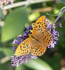 Fritillary butterfly (Joe__M) Tags: butterfly ukbutterfly fritillary summer england wildlife ukwildlife insect bug bugs butterflys butterflyid devon beautiful animal