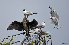 Black headed Gulls. (spw6156 - Over 6,560,030 Views) Tags: black headed gulls copyright steve waterhouse