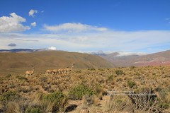 Humahuaca, near El Hornocal, Guanacos (blauepics) Tags: argentina argentinien jujuy province provinz provincia nord north andes anden berge mountains landscape landschaft unesco world heritage site weltkulturerbe quebrade huamhuaca indio clouds wolken el hornocal guanacos animal tier