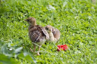 Kuikens van de pauw. Chicks of a peacockfamily.