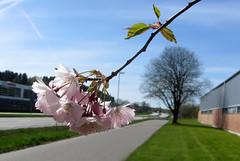 pink (helena.e) Tags: helenae flower blomma träd tree rosa pink alingsås