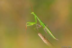 Mantis (Silvio Sola) Tags: insetto insect silviosola macro closeup mantide mantis campo