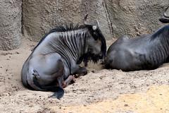 IMG_0777 (Bob_lewerissa) Tags: wildlands emmen zoo canon 80d 70200 l nonis usm