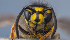 A Long Night : ) (paulward972) Tags: macro insects bee olympusm60mmf28macro olympusem1marki wasp flower ngc npc