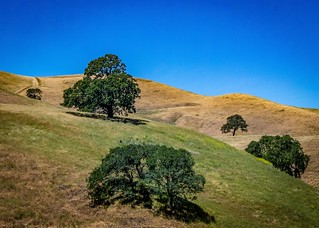 Oaks on A Hillside