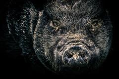 böse sau (DaveGassmann) Tags: black bad pig schwein düster dunkel tier animal bearbeitet kontrast bauernhof farm switzerland