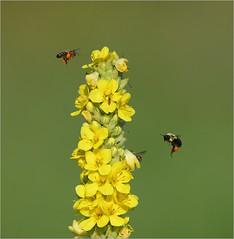 Pollen Paradise (nomoredarkroom) Tags: bees pennsylvania mullein