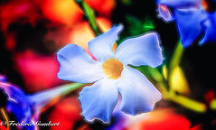 White explosion (frederic.gombert) Tags: flower flowers white black color contrast light sun macro colorful colors red orange plant summer nikon
