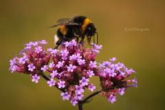 HUMMEL (K&S-Fotografie) Tags: bee pollination honeybee petal bud flower flowers makro macro yellow park insect summer pink red beautiful plant closeup blossom flora bloom color floral dumblebee biene blume