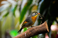 Pekin Robin (Leiothrix lutea) (Seventh Heaven Photography) Tags: redbilled liothrix leiothrixlutea leiothrix lutea pekin robin japanese nightingale bird animal nikond3200