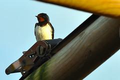 Swallow (earlsy1) Tags: swallow bird seaside beach croyde bay tent camping glamping uk devon england