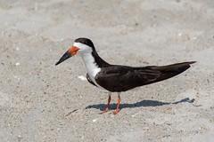 Black Skimmer (ramseybuckeye) Tags: life pentax sand bird northcarolina wilmington beach wrightsville skimmer black