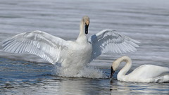 I'll walk on water for you! (Hammerchewer) Tags: trumpeterswans swans bird waterfowl wildlife outdoor yellowstone