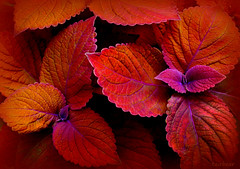 the coleus called Campfire (milomingo) Tags: nature plant leaf closeup foliage coleus garden mygarden botanical texture constrasts bold vivid vibrant bright photoborder orange purple veined variegated scalloped redorange plectranthusscutellarioides copper annual ornamental colorfulworld thesunshinegroup