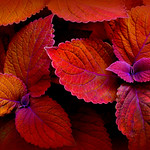 the coleus called Campfire thumbnail