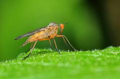 Première prise du printemps (didier.bier) Tags: insecte insect macro macrophotographie eos80d canon 100mmmacrof28usm jura rochefortsurnenon france franchecomté bourgognefranchecomté 39 mt24ex