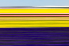Hyacinths and Daffodils! (karindebruin) Tags: bollenvelden nederland noordholland thenetherlands hyacinten daffodils narcissen hyacinths flowers bloemen icm