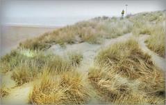 Noah, roi des dunes, De Banjaard, Kamperland, Noord-Beveland, Zeelande, Nederland (claude lina) Tags: claudelina nederland hollande paysbas zeelande zeeland debanjaard dune oyat mer strand beach