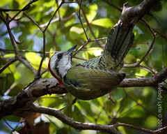 Cuban Green Woodpecker (karenmelody) Tags: animal animals bird birds cuba cubangreenwoodpecker picidae piciformes vertebrate vertebrates xiphidiopicuspercussus zapatapeninsula woodpecker woodpeckers