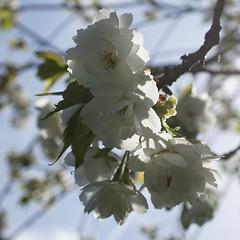 backlit blossom - explored (quietpurplehaze07) Tags: saturday backlit closeup smileonsaturdaybacklitcloseup blossom white explored