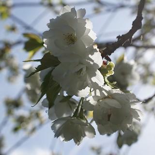 backlit blossom - explored