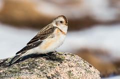 Snow Bunting (Ponty Birder) Tags: g b wheeler pontybirder garywheeler scotland birds bunting