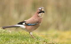 Jay (claire.con) Tags: jay bird birds wildbird nature wild wildlifephotography naturelover forestfarm countryside greatoutdoors