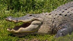 American Alligator (Lindell Dillon) Tags: americanalligator herp amphibians nature wildlife alabama alligatoralley
