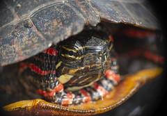 Road Turtles 2018 (AnthonyVanSchoor) Tags: