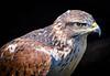 Bird of Prey (littlestschnauzer) Tags: bird prey powerful strength nature birds huby visit uk feathers beak animal 2018 york centre yorkshire tourist attraction