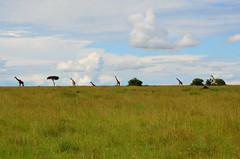 Масайский жираф, Giraffa camelopardalis tippelskirchi, Masai Giraffe (Oleg Nomad) Tags: африка кения сафари животные млекопитающие копытные саванна africa kenya safari mammals travel animals savanna масайскийжираф giraffacamelopardalistippelskirchi masaigiraffe