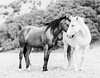 Two Hearts (Jessica Cardelucci) Tags: horses horse photograph photography black white monochrome limited edition original artprint wild mustang