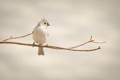 ~Out on a Limb~ (cheryl c.) Tags: littlebird outonalimb simplicity dontcomplicateit tonesandbokeh spring throughherlens outdoors
