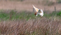 Barn Owl Hunting The Dunes (Steve (Hooky) Waddingham) Tags: animal bird british barn coast countryside nature northumberland mice morning voles prey photography hunt hover hunting wild wildlife owl