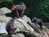 Singapore Zoo, November 12th 2008 (Southsea_Matt) Tags: canon 30d singapore zoo november 2008 autumn animal monkey