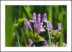 Glenville Wildflowers (AussieinUSA) Tags: nonnative giraffehead henbitdeadnettle lamiumamplexicaule california kerncounty 2018wildflowers 2018 wildflowers glenville hwy155 jackranchrd bakersfieldglenvillerd