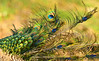 Tail Wind (hpaich) Tags: peacock bird avian animal wild wildlife iridescent iridescence feather blue green