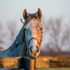 Horses of Kentucky (JuanJ) Tags: nikon d850 lightroom art bokeh nature lens light landscape white green red black pink sky people portrait location architecture building city iphone iphoneography square squareformat instagramapp shot awesome supershot beauty cute new flickr amazing photo photograph fav favorite favs picture me explore interestingness wedding party family travel friend friends vacation beach horse fence farm kentucky 2018 march grass thoroughbred