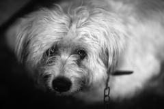 DOMESTICATION (N A Y E E M) Tags: dog pet portrait chain naturallight availablelight backyard home rabiarahmanlane chittagong bangladesh lateafternoon light