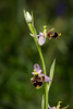 Ophrys scolopax ssp. cornuta (f.mangili) Tags: ophrys scolopax cornuta gargano orchids orchidee selvatiche wild peschici vieste