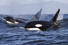 Bigg's (Transient) Killer Whales (toryjk) Tags: killerwhale killer whale predation predator gray dinner alldaywhalewatch mbww wildlife wild whalewatching whalewatch gowhales orca male ca51 ca51s friendlywhale friendly pod
