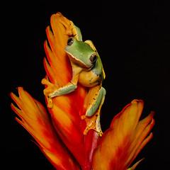 Splendid Leaf Frog (Jen St. Louis) Tags: cruziohylacalcarifer splendidleaffrog amphibian captive captivebred frog treefrog jenstlouisphotography wwwjenstlouisphotographycom nikond750 nikon105mmf28 macro