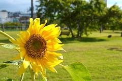 Girassol (Ale.Almeida.Photos) Tags: girassol parque de coqueiros floripa florianópolis santacatarina brasil flor flower natureza