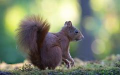 Red Squirrel - Rode eekhoorn (Wim Boon (wimzilver)) Tags: wimboon canoneos5dmarkiii canon300mmf4lis14ex iso3200 eekhoorn redsquirrel nederland netherlands natuur nature backlight