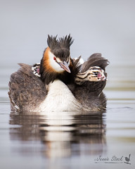Great Crested Grebes with chicks.jpg (Jennie Stock) Tags: greatcrestedgrebe podicepscristatus juveniles herdsmanlake chicks