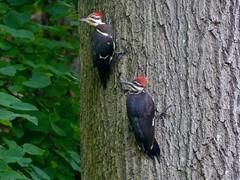 Pileated Woodpeckers (Dryocopus pileatus) (WRFred) Tags: bird backyardwildlife wildlife woodpecker nature maryland montgomerycounty washingtonwestquad