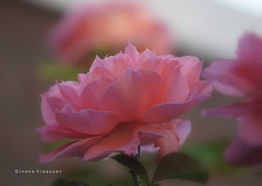 Rose (In Explore July 30 2018) (Ineke Klaassen) Tags: rose roos pastel bloem flower flora floral sony sonyimages sonya6000 sonyalpha sonyalpha6000 sonyilce6000 ilce roze pink fleur garden gardening tuinieren バラ flowers bloemen fleurs inexplore invitedtoinexplore explore explored nature natuurfotografie naturephotography natur 2018 july macro closeup 100fav 100faves 5000views 150faves inekeklaassen copyright zoomnl 200faves 220faves 9000views 225faves 9500views 230faves 10000views blumen blume 11000views