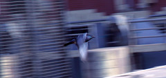 blurred pigeon ... (momirage) Tags: pigeon bird birds fly flying swift fast speed blur blurry blurred abst abstract wings wind movement action hizzy illusion