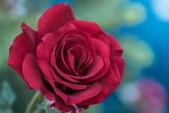 Desinged By nature. (Omygodtom) Tags: red design 7dwf contrast tamron macro bokeh dof d7100 natural flora flickr flickriver